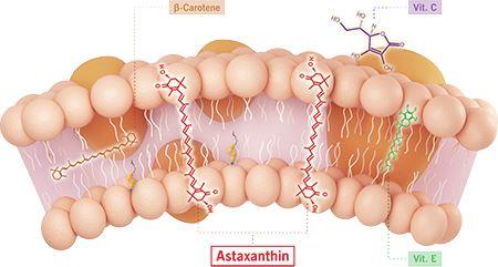 ประโยชน์ของ Astaxanthin ต้านอนุมูลอิสระ (1)