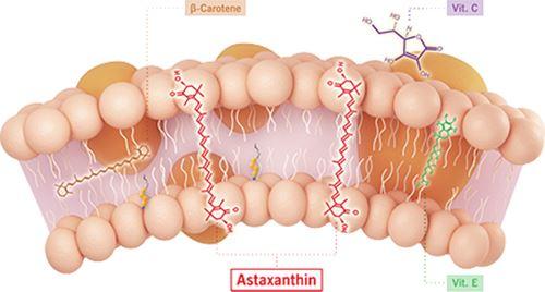 Astaxanthin ปกป้องเซลล์เมมเบรน